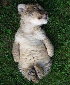 Snoozin' - your daily dose of funny cats - cute kittens - pet memes - pets in clothes - kitty breeds - sweet animal pictures - perfect photos for cat moms Sleeping Tiger, Sleeping Animals, Sleeping Beauty, Cute Baby Animals, Animals And Pets, Funny Animals, Wild Animals, Brave Animals, Small Animals