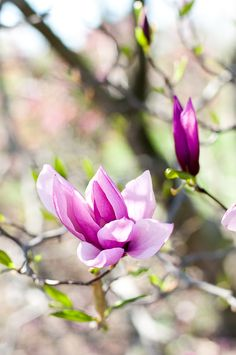 Got this magnolia in my front garden Saucer Magnolia Tree, Magnolia Trees, Welcome Spring, Spring Sign, My Flower, Flower Power, Flor Magnolia, Blooming Trees, Spring Has Sprung