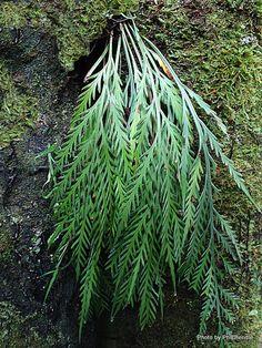 Fern Asplenium flaccidum (Hanging Spleenwort), Pukekura Park, New Plymouth.
