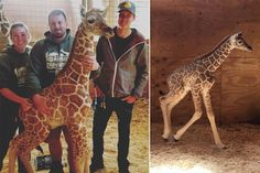"""The long-awaited offspring of internet sensation April the Giraffe is being described as strong and """"very independent."""" The owner of Animal Adventure Park in upstate New York says the n…"""