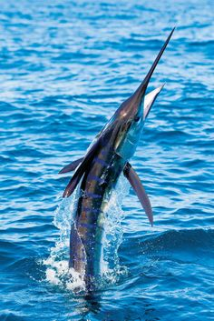 striped marlin jumping out water Fish Jumps, Marlin Fishing, Giant Fish, Beautiful Sea Creatures, Life Under The Sea, Salt Water Fish, Offshore Fishing, Fishing Girls, Sport Fishing
