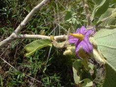 Lobeira-do-Cerrado (Solanum lycocarpum A. St.-Hil.)