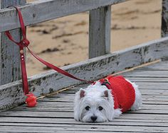 #furkids  #westie    Patiently waiting. Such a beautiful West Highland White Terrier