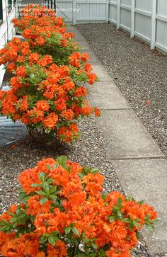 Flame azalea hedge, 5 years old. Best color with an acidifying rhodie…