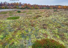 Vanha jokiuoma - lappi joki syksy ruska koivu pulmankijoki utsjoki lappi hiekka hietikko tunturikoivu sammal mätäs jokiuoma variksenmarja tunturi