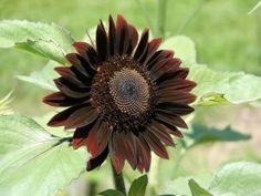 Rare Dark Chocolate Sunflower Helianthus annuus - 20 Seeds