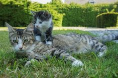 A mother cat has significant influence over her kittens developing normal cat behaviours. Big Cats, Cats And Kittens, Cute Cats, Funny Cats, Siamese Cats, Mother Cat, Cat Pee, Cat Urine, Cats Diy