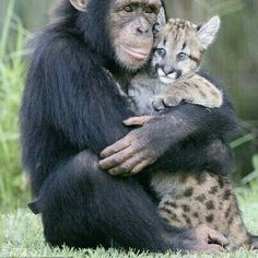 I'll be your mummy and you be my little kitty cat: Anjana the chimp shows off her parenting skills.with a puma cub .I'll be your mummy and you be my little kitty cat: Anjana the chimp shows off her parenting skills.with a puma cub. Animal Hugs, Especie Animal, Mundo Animal, Cute Baby Animals, Animals And Pets, Funny Animals, Wild Animals, Monkeys Animals, Funniest Animals