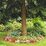 There's a quick fix for a tree that chokes out the sunlight, and with it any hope of growing grass: Encircle the tree with shade plants.