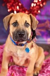 Scrappy is an adoptable Boxer/Mastiff Dog in Elizabethtown, PA