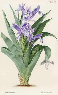 Iris graeberiana - William Curtis Botanical Prints from Curtis Botanical Magazine 1948 and After