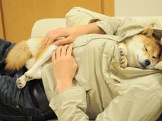 Cuddles with Shiba Inu. This WOULDN'T happen with my two.