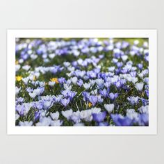 """Art Print / MINI (10"""" x 7"""") Originalaufnahme (originalaufnahme) Crocus-meadow by Originalaufnahme $18.00  #posters #artworks #graphic design #texture #inspiration #artists #stretched canvas #illustrations #room #products #pretty #colour #inspiration #Wall Art #Home Decor #Throw Pillows #Cards #Mugs #Shower Curtains #Wall Tapestries#Duvet Covers #Rugs #Wall Clocks #Art Prints #Framed Art Prints #Canvas Prints #Editions #Wall Tapestries"""