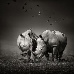 【野生動物 Wildlife】 Photograph - Two Rhinoceros With Birds In Bw by Johan Swanepoel Especie Animal, Mundo Animal, Wildlife Photography, Animal Photography, Beautiful Creatures, Animals Beautiful, White Rhinoceros, Save The Rhino, Bird Canvas