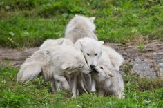 Arctic wolf family by Maxime Riendeau on 500px American Indian Dog, Baby Animals, Cute Animals, Arctic Wolf, Wolf Photos, Wolf Spirit, White Wolf, Animal Totems, Bad Wolf