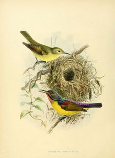 Anthreptes Malaccensis.  'A Monograph of the Nectariniidae, or, Family of Sun-birds' by GE Shelley and JG Keulemans (1876-1880)