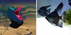 Real Fish Versus Little Mermaid Fish   Whoa   Oh My Disney