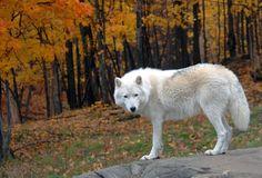 lobo branco Vetor