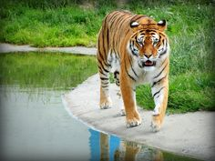Tiger | schtroumphette2011 | Flickr