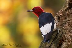 Red-Headed Woodpecker by Mitch Vanbeekum Photography on 500px