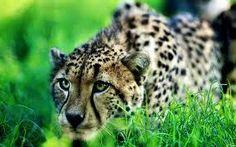guepardo escondite