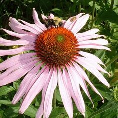 These days, the herbal remedies prepared using Echinacea herb acts as a blood cleanser for the holistic healing of different skin problems such as boils and other internal and topical abscesses, besides, this herbal remedy is crucial when it comes to treating all forms of allergies, and associated skin conditions including urticaria and eczema.