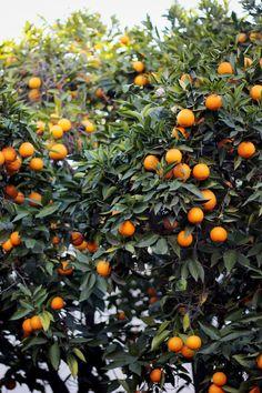 Cheers to a zesty weekend - C - Gelb / Orange - Obstgarten Citrus Trees, Fruit Trees, Orange Trees, Jesus Painting, Fruit Photography, Garden Trees, Flowers Nature, Horticulture, Planting Flowers