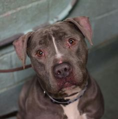 TO BE DESTROYED - 02/11/15 Brooklyn Center   My name is ARIES. My Animal ID # is A1027062. I am a male gray and white pit bull mix. The shelter thinks I am about 9 YEARS old.  I came in the shelter as a OWNER SUR on 02/03/2015 from NY 11207, owner surrender reason stated was PERS PROB.