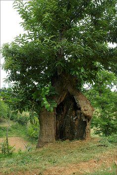 ˚Chestnut Tree