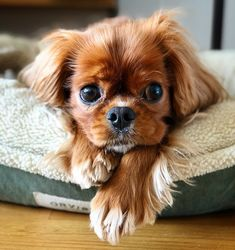 Find Out More On Fun Cavalier King Charles Spaniel Exercise Needs King Charles Puppy, Cavalier King Charles Dog, King Charles Spaniels, Cavalier King Spaniel, Cockerspaniel, Cute Dogs And Puppies, Doggies, Spaniel Puppies, Love Dogs