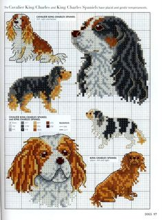 cavalier and king charles spaniel