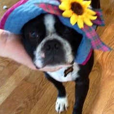 Blossom Boston terrier version