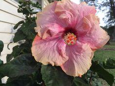 Cajun Hibiscus