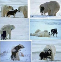 Funny pictures about Polar Bear and Husky playing. Oh, and cool pics about Polar Bear and Husky playing. Also, Polar Bear and Husky playing photos. Cute Baby Animals, Animals And Pets, Funny Animals, Wild Animals, Unlikely Animal Friends, Photo Animaliere, Tier Fotos, Cute Animal Pictures, Sports Pictures