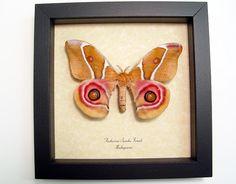 Antherina suraka female Madagascar Emperor Pink Eye Spot moth from Madagascar