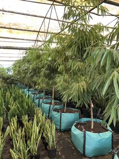 Ficus alii, a hardy vigorous growing tree with long narrow glossy leaves, can be used in medium to high light conditions indoors. Current stock available ranging from to