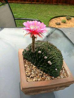 Mammillaria geminispina v. nobilis f. cristata. Cultivar. (Cactus)