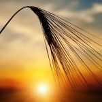 A provocative new study confirms for the first time in a human trial that one of the adverse effects of wheat consumption includes a disruption of the levels of a hormone produced by the pituitary gland known as prolactin. Endocrine Disruptors, Autoimmune Disease, Addison's Disease, Graves Disease, Disease Symptoms, Pituitary Gland, Health Resources, Health And Wellbeing, Health Benefits