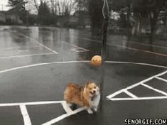 16 Adorable GIF's of Corgi's Doing Corgi Things Cutest Dog On Earth, Fun Classroom Games, Cute Corgi, Funny Dog Pictures, Cool Pets, Going To The Gym, Cat Gif, Funny Dogs, Your Dog