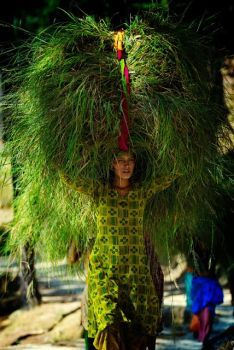 Woman carrying grass bought from a market to be used as cattle feed, Kumaon, India. - Michael Gebicki
