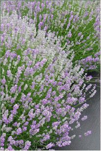 "English Lavender plant (Lavandula angustifolia) 'Martha Roderick' - to 18"", This English lavender variety is semi dwarf and dense, with narrow, silvery-grayish-green, sweetly-scented foliage. Prominent, bright-lavender flowers bloom on foot-and-a-half-tall flower spikes in midsummer."