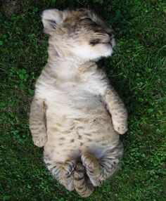 Snoozing lion cub with adorable tail curl
