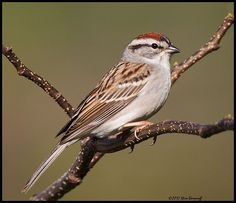 _2SB8719 chipping sparrow.jpg