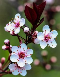 Plum Tree - Birds and Blooms - Flores Beautiful Flowers Wallpapers, Most Beautiful Flowers, Pretty Flowers, Plum Flowers, Exotic Flowers, Spring Flowers, Bouquet Flowers, Flowers Garden, Blossom Trees