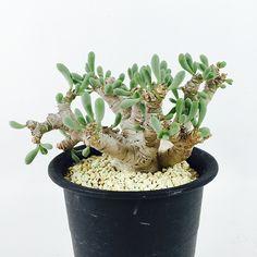 【良形】Othonna clavifolia - aneapeeps卡拉菲厚敦菊22000