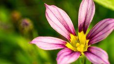 ニワゼキショウ(庭石菖 Sisyrinchium rosulatum)はアヤメ科ニワゼキショウ属の一年草。