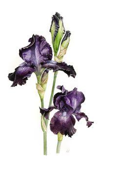 Floral Art - Roger Reynolds Botanical Art - Dark Blue Iris