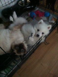 Japanese spitz puppy ragdoll kitten fluffy love