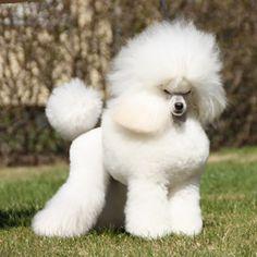 "White Toy Poodle // Executive It's Showtime ""Aliza""   Executive Poodles"