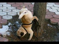 [Trending] Best 33 Pug Memes Goes Viral On Internet - MemeVilla Funny Pug Pictures, Funny Animal Images, Dog Pictures, Funny Animals, Cute Animals, Animal Pics, Funny Photos, Funny Dog Memes, Funny Dogs